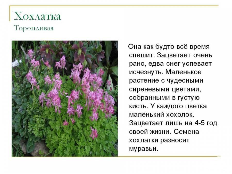 Набуко первоцветы хохлатка галлера